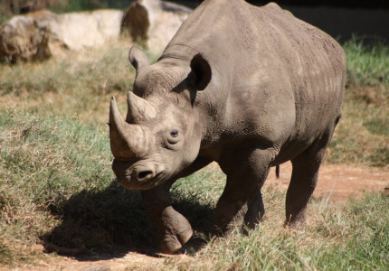 Black Rhino Running